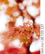 Купить «Beautiful artistic closeup of Japanese maple, Acer palmatum, red leaves glowing in autumn misty sunlight, abstract background, Kyoto, Japan.», фото № 28133127, снято 20 ноября 2017 г. (c) age Fotostock / Фотобанк Лори
