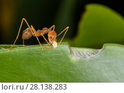 Купить «Weaver ants (Oecophylla smaragdina) working building nest, using larva to produce silk which glues leaves together, Sabah, Malaysian Borneo.», фото № 28138283, снято 25 марта 2018 г. (c) Nature Picture Library / Фотобанк Лори