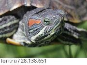 Купить «Черепаха на фоне зеленой травы крупным планом», фото № 28138651, снято 24 мая 2017 г. (c) Яна Королёва / Фотобанк Лори