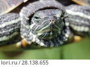 Купить «Черепаха крупным планом», фото № 28138655, снято 24 мая 2017 г. (c) Яна Королёва / Фотобанк Лори