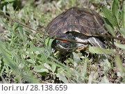 Купить «Черепаха в траве», фото № 28138659, снято 24 мая 2017 г. (c) Яна Королёва / Фотобанк Лори