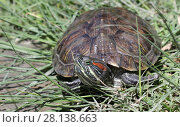 Купить «Черепаха в траве», фото № 28138663, снято 24 мая 2017 г. (c) Яна Королёва / Фотобанк Лори
