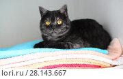 Купить «gray British cat lies on clean towels in closet», видеоролик № 28143667, снято 4 марта 2018 г. (c) Володина Ольга / Фотобанк Лори