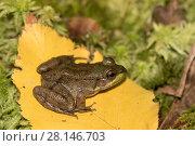 Купить «Juvenile Green Frog (Lithobates clamitans) on poplar leaf and moss; Connecticut, USA», фото № 28146703, снято 22 октября 2018 г. (c) Nature Picture Library / Фотобанк Лори