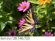 Купить «Eastern Tiger Swallowtail Butterfly (Papilio glaucus) nectaring on flower in farm garden, Connecticut, USA», фото № 28146723, снято 13 декабря 2018 г. (c) Nature Picture Library / Фотобанк Лори