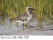 Купить «Black-bellied plover (Pluvialis squatarola), moulting into breeding plumage, at edge of salt marsh. Mullet Key, St. Petersburg, Florida, USA.», фото № 28146739, снято 14 ноября 2018 г. (c) Nature Picture Library / Фотобанк Лори