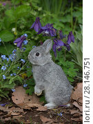 Купить «Baby Netherland Dwarf rabbit standing in spring garden, beside forget-me-nots and blue columbine, USA.», фото № 28146751, снято 27 мая 2018 г. (c) Nature Picture Library / Фотобанк Лори