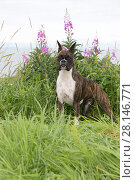 Купить «Boxer bitch with cropped ears, standing in wild grass and fireweed. Alaska, USA.», фото № 28146771, снято 16 августа 2018 г. (c) Nature Picture Library / Фотобанк Лори