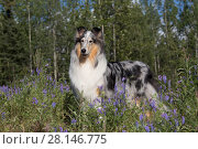 Купить «Rough Collie bitch in summer meadow, USA.», фото № 28146775, снято 16 июля 2018 г. (c) Nature Picture Library / Фотобанк Лори