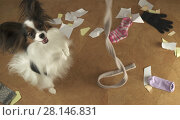 Купить «Dog Papillon arranged a pogrom in house scattered things and tore the paper», фото № 28146831, снято 16 января 2019 г. (c) Юлия Машкова / Фотобанк Лори