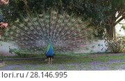 Купить «Blue male peacock with feathers extended», видеоролик № 28146995, снято 14 июня 2017 г. (c) Алексей Кузнецов / Фотобанк Лори