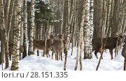 Купить «A herd of wild Sika deer walks in the winter forest», видеоролик № 28151335, снято 7 марта 2018 г. (c) Алексей Кузнецов / Фотобанк Лори