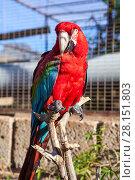 Купить «Попугай красный ара сидит на ветке», фото № 28151803, снято 2 января 2016 г. (c) Кекяляйнен Андрей / Фотобанк Лори
