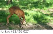 Купить «Wild roe deer in the forest on a sunny summer day», видеоролик № 28153027, снято 5 июля 2016 г. (c) Алексей Кузнецов / Фотобанк Лори