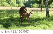 Купить «Wild spotted deer in the forest on a sunny summer day», видеоролик № 28153047, снято 7 июля 2016 г. (c) Алексей Кузнецов / Фотобанк Лори