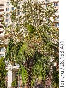 Купить «Пальма и берёза на Манежной площади», фото № 28153471, снято 26 сентября 2015 г. (c) Алёшина Оксана / Фотобанк Лори