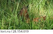 Купить «Wild Roe deer lying in tall green grass on a sunny summer day», видеоролик № 28154019, снято 16 июля 2016 г. (c) Алексей Кузнецов / Фотобанк Лори