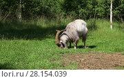 Купить «Horned goat grazing in a green lawn in the forest on a sunny summer day», видеоролик № 28154039, снято 16 июля 2016 г. (c) Алексей Кузнецов / Фотобанк Лори