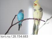 wavy parrot and a parrot of the Corella breed. Стоковое фото, фотограф Типляшина Евгения / Фотобанк Лори