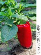 Купить «Красный болгарский перец растет на грядке», эксклюзивное фото № 28162499, снято 19 августа 2017 г. (c) Елена Коромыслова / Фотобанк Лори