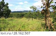 Купить «Jackfruit plantations in the highlands of Eastern Vietnam», видеоролик № 28162507, снято 5 января 2017 г. (c) Алексей Кузнецов / Фотобанк Лори