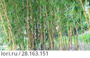 Купить «Bamboo forest blowing in the wind, Vietnam», видеоролик № 28163151, снято 23 января 2017 г. (c) Алексей Кузнецов / Фотобанк Лори