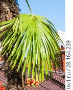 Купить «Лист пальмы Сабаль (Sabal) на фоне города», фото № 28164239, снято 26 сентября 2015 г. (c) Алёшина Оксана / Фотобанк Лори