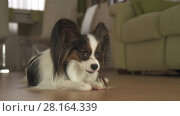 Купить «Dog Papillon eats a delicious treat with appetite in living room», фото № 28164339, снято 25 июня 2018 г. (c) Юлия Машкова / Фотобанк Лори