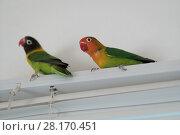 Купить «Parrots of the breed are in love», фото № 28170451, снято 8 марта 2018 г. (c) Типляшина Евгения / Фотобанк Лори