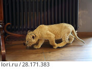 Купить «Lion calf goes on wooden floor near hanger indoor and sniffs», фото № 28171383, снято 13 июля 2016 г. (c) Losevsky Pavel / Фотобанк Лори