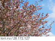 Купить «Beautiful blooming cherry tree in spring garden at warm sunny day», фото № 28172127, снято 1 мая 2016 г. (c) Losevsky Pavel / Фотобанк Лори
