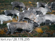 Купить «Reindeer (Rangifer tarandus) reindeer in rainy weather, reintroduced Cairngorm Reindeer Herd, Cairngorm National Park, Speyside, Scotland, November.», фото № 28178295, снято 24 августа 2019 г. (c) Nature Picture Library / Фотобанк Лори