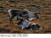 Купить «Reindeer (Rangifer tarandus) reindeer with antlers in velvet, reintroduced Cairngorm Reindeer Herd, Cairngorm National Park, Speyside, Scotland, October», фото № 28178303, снято 24 августа 2019 г. (c) Nature Picture Library / Фотобанк Лори