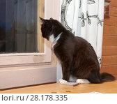 Купить «Черно-белый пушистый кот сидит на столе рядом с белой занавеской и смотрит в темное ночное окно», фото № 28178335, снято 3 июня 2017 г. (c) Наталья Николаева / Фотобанк Лори