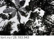 Купить «Tree fern (Cyatheales sp)  silhouetted in montane rainforest, near FakFak, Mainland New Guinea, Western Papua, Indonesian New Guinea», фото № 28183943, снято 24 августа 2019 г. (c) Nature Picture Library / Фотобанк Лори