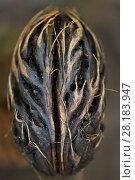 Купить «Palm tree seed, In the lowland rainforest, Kumawa Peninsula, Mainland New Guinea, Western Papua», фото № 28183947, снято 20 января 2019 г. (c) Nature Picture Library / Фотобанк Лори