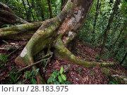 Купить «Triton Bay rainforest trees and roots, Mainland New Guinea, Western Papua, Indonesian New Guinea.», фото № 28183975, снято 23 марта 2019 г. (c) Nature Picture Library / Фотобанк Лори