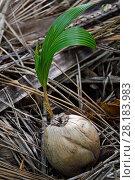 Купить «Coconut palm tree nut germinating (Cocos nucifera),Triton Bay, Mainland New Guinea, Western Papua, Indonesian New Guinea», фото № 28183983, снято 20 января 2019 г. (c) Nature Picture Library / Фотобанк Лори