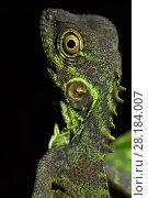Купить «Forest dragon lizard (Hypsilurus) Batenta Island, Raja Ampat, Western Papua, Indonesia.», фото № 28184007, снято 23 марта 2019 г. (c) Nature Picture Library / Фотобанк Лори