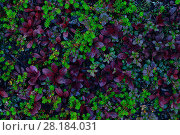 Купить «Crowberry (Empetrum nigrum), Lingonberry (Vaccinium vitis-idaea) and Black Bearberry (Arctostaphylos alpina) Rukatunturi, Finland, September.», фото № 28184031, снято 23 мая 2018 г. (c) Nature Picture Library / Фотобанк Лори