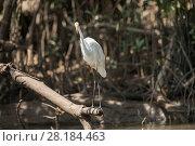 Купить «Eastern great egret, (Ardea alba modesta) amongst the mangrove roots.  Daintree , Queensland, Australia», фото № 28184463, снято 17 июня 2019 г. (c) Nature Picture Library / Фотобанк Лори