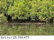 Купить «Saltwater crocodile (Crocodylus porosus) swimming stealthily along the Daintree River, Daintree , Queensland, Australia», фото № 28184475, снято 20 августа 2018 г. (c) Nature Picture Library / Фотобанк Лори