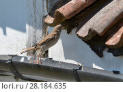 Купить «House sparrow (Passer domesticus) female hopping up from a roof gutter to its nest entrance under old tiles with insect prey for its chicks, Wiltshire, UK, June.», фото № 28184635, снято 18 октября 2018 г. (c) Nature Picture Library / Фотобанк Лори