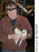Купить «Barn owl (Tyto alba) two chick taken from a nest box in an old barn for ringing during a licensed nest box survey, Suffolk, UK, July.  Model released.», фото № 28184647, снято 23 марта 2018 г. (c) Nature Picture Library / Фотобанк Лори
