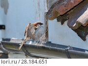 Купить «House sparrow (Passer domesticus) male flying to its nest entrance under old tiles with insect prey to feed its chicks with, Wiltshire, UK, June.», фото № 28184651, снято 18 октября 2018 г. (c) Nature Picture Library / Фотобанк Лори