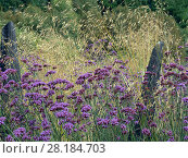 Купить «Argentinian vervain (Verbena bonariensis) and Giant feather grass (Stipa gigantea) in garden border.», фото № 28184703, снято 24 мая 2018 г. (c) Nature Picture Library / Фотобанк Лори