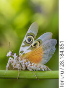 Купить «Spiny flower mantis (Pseudocreobotra wahlbergii) with wings expanded, captive, occurs in Africa.», фото № 28184851, снято 27 мая 2018 г. (c) Nature Picture Library / Фотобанк Лори