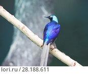 Купить «Длиннохвостый блестящий скворец Long-tailed glossy starling», фото № 28188611, снято 2 марта 2017 г. (c) Галина Савина / Фотобанк Лори