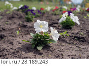 Seedling of white petunia flowers, planted on the ground flower beds. Стоковое фото, фотограф Светлана Попова / Фотобанк Лори