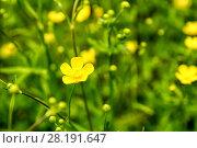 Купить «Куриная слепота или лютик едкий (Ranunculus acris)», фото № 28191647, снято 9 июня 2013 г. (c) Евгений Ткачёв / Фотобанк Лори